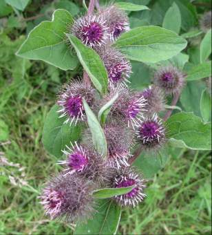 external image burdock%20flowers.jpg